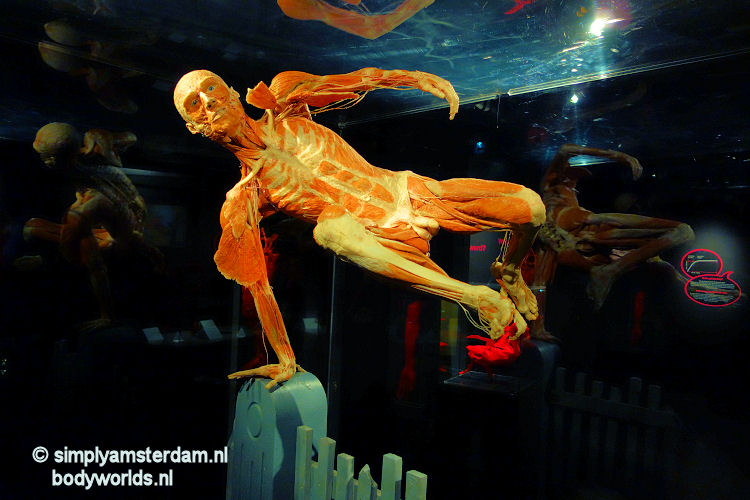 Man jumping fence (Body Worlds, the Happiness Project)