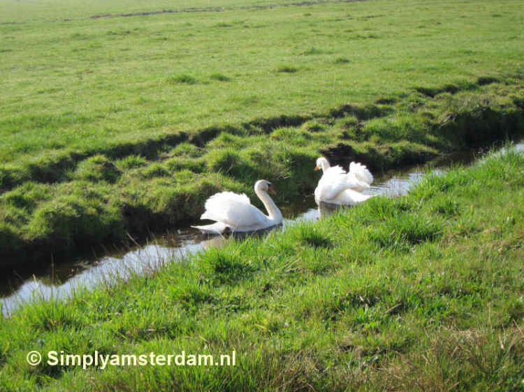 Swans in rural North