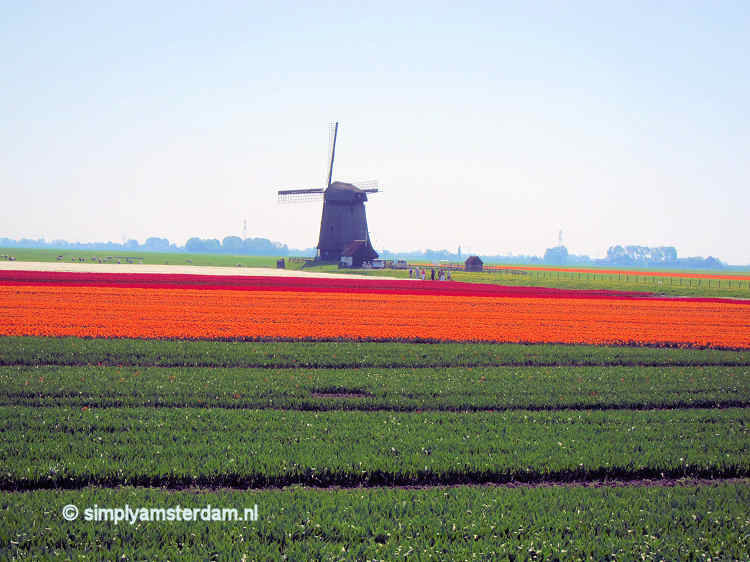 Flower field and windmill